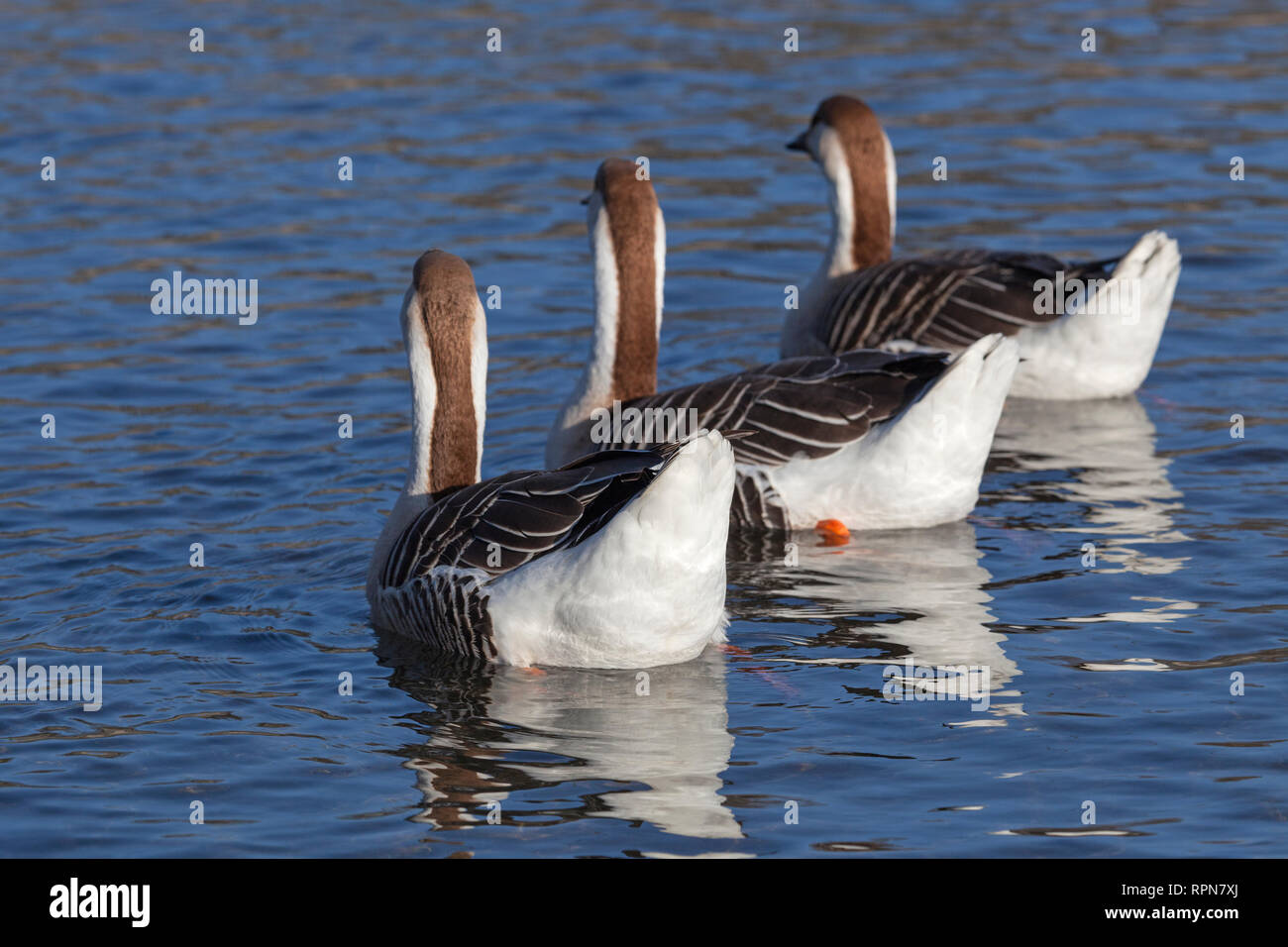 zoology / animals, avian / birds, Swan Goose, (Anser cygnoides forma domestica), Brown Swan Gooses swi, Additional-Rights-Clearance-Info-Not-Available Stock Photo