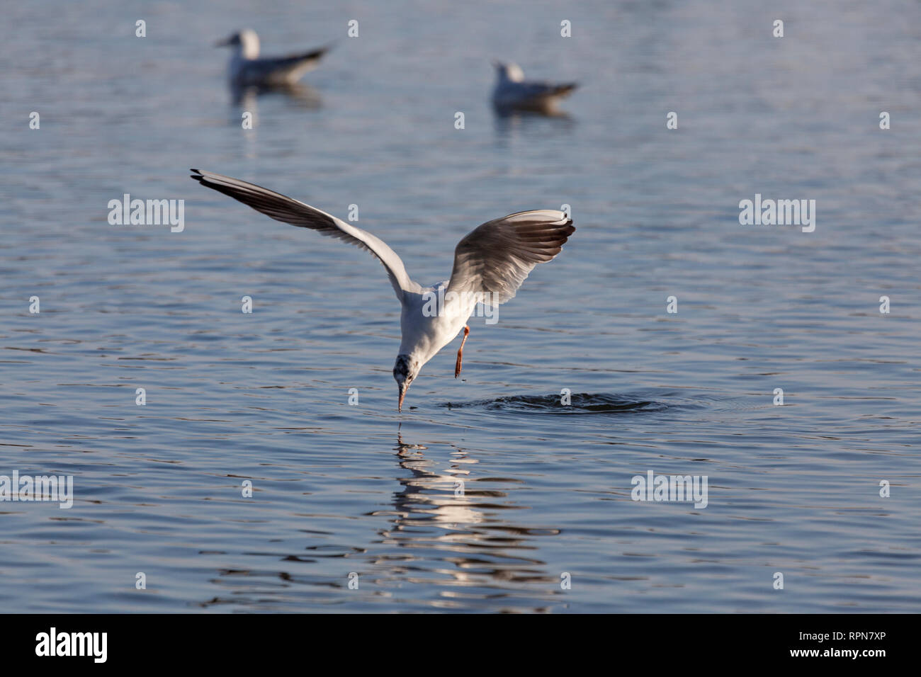 zoology / animals, avian / bird, White-headed Gull, (Chroicocephalus ridibundus), with rest of her juv, Additional-Rights-Clearance-Info-Not-Available - Stock Image