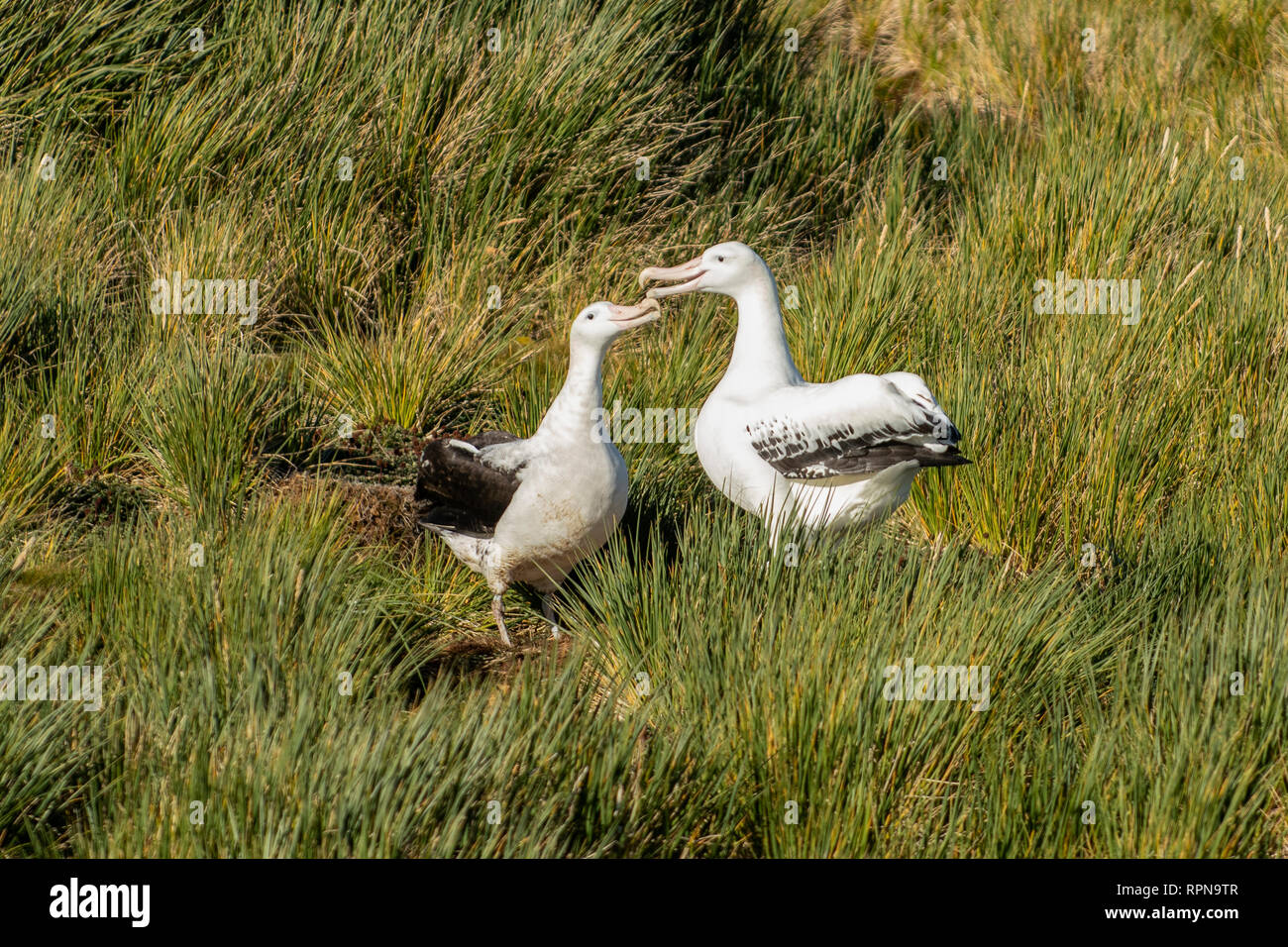 Pair of Wandering Albatrosses, Dimodea exulans at Prion Island, South Georgia - Stock Image