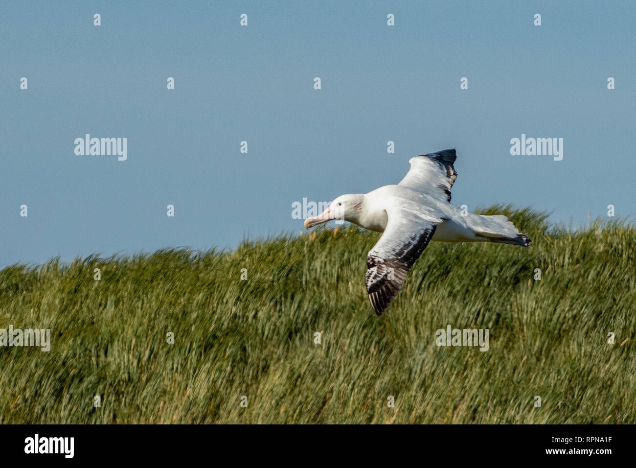 Wandering Albatross, Dimodea exulans at Prion Island, South Georgia - Stock Image