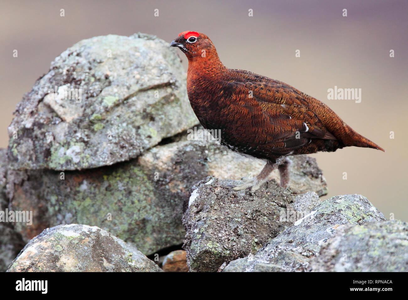 zoology / animals, birds (Aves), Willow Grouse, schottische Willow Grouse, Lagopus Lagopus scoticus, R, Additional-Rights-Clearance-Info-Not-Available - Stock Image