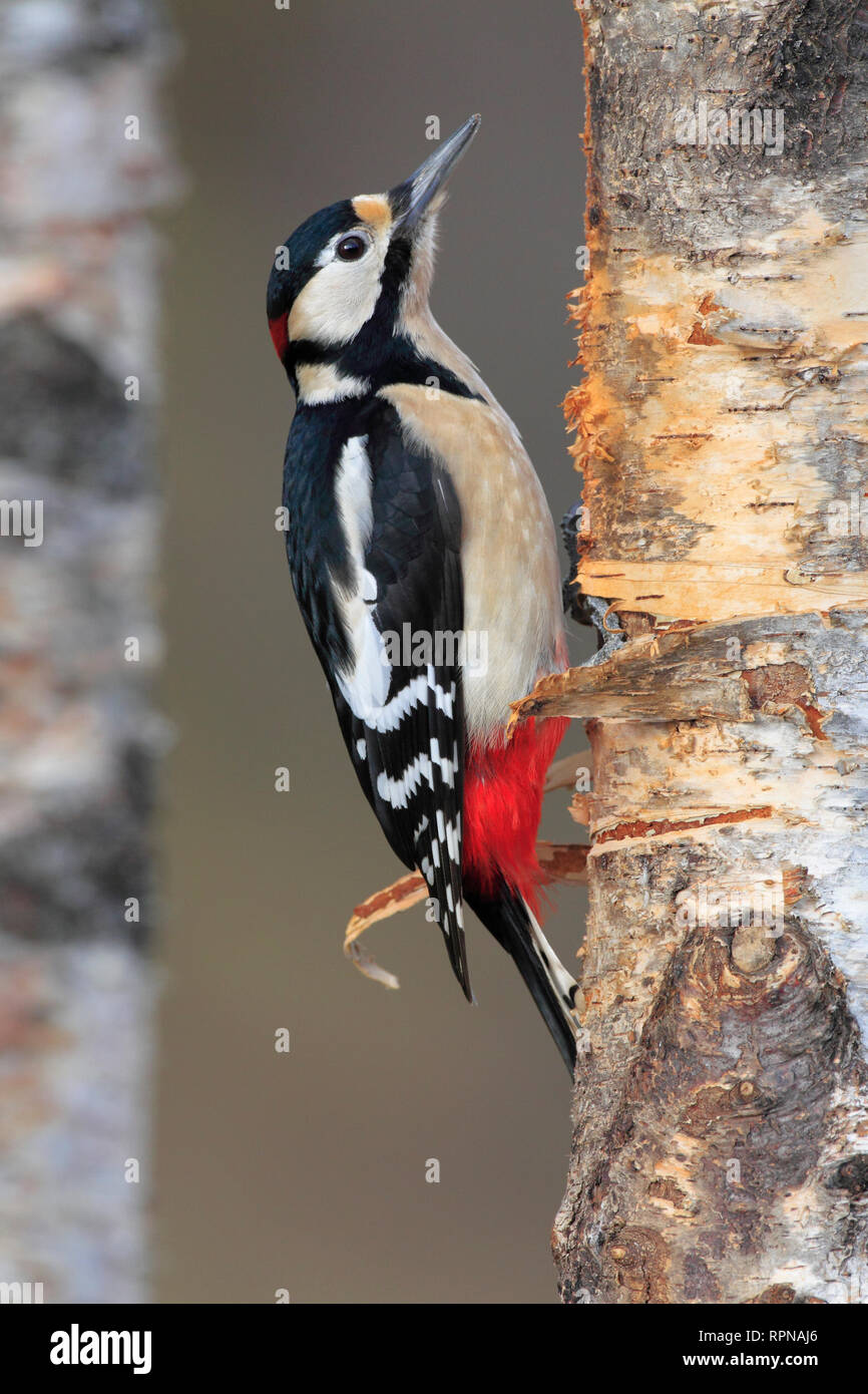 zoology / animals, birds (Aves), Great Spotted Woodpecker, Dendrocopos major, Great spotted woodpecker, Additional-Rights-Clearance-Info-Not-Available - Stock Image
