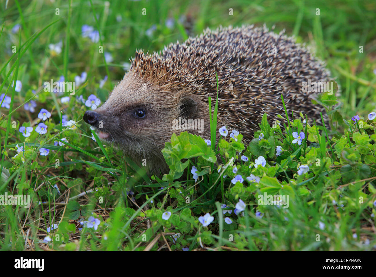 zoology / animals, mammal (mammalia), common hedgehog, Erinaceus eu, No-Postcard-Use, German Speaking Countries (D / A / CH), 01.11.2016 - 01.11.2019, - Stock Image