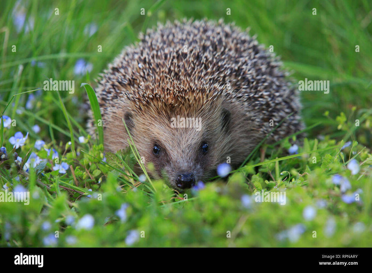 zoology / animals, mammal (mammalia), common hedgehog, Erinaceus europaeus, hedgehog, Switzerland, Additional-Rights-Clearance-Info-Not-Available - Stock Image