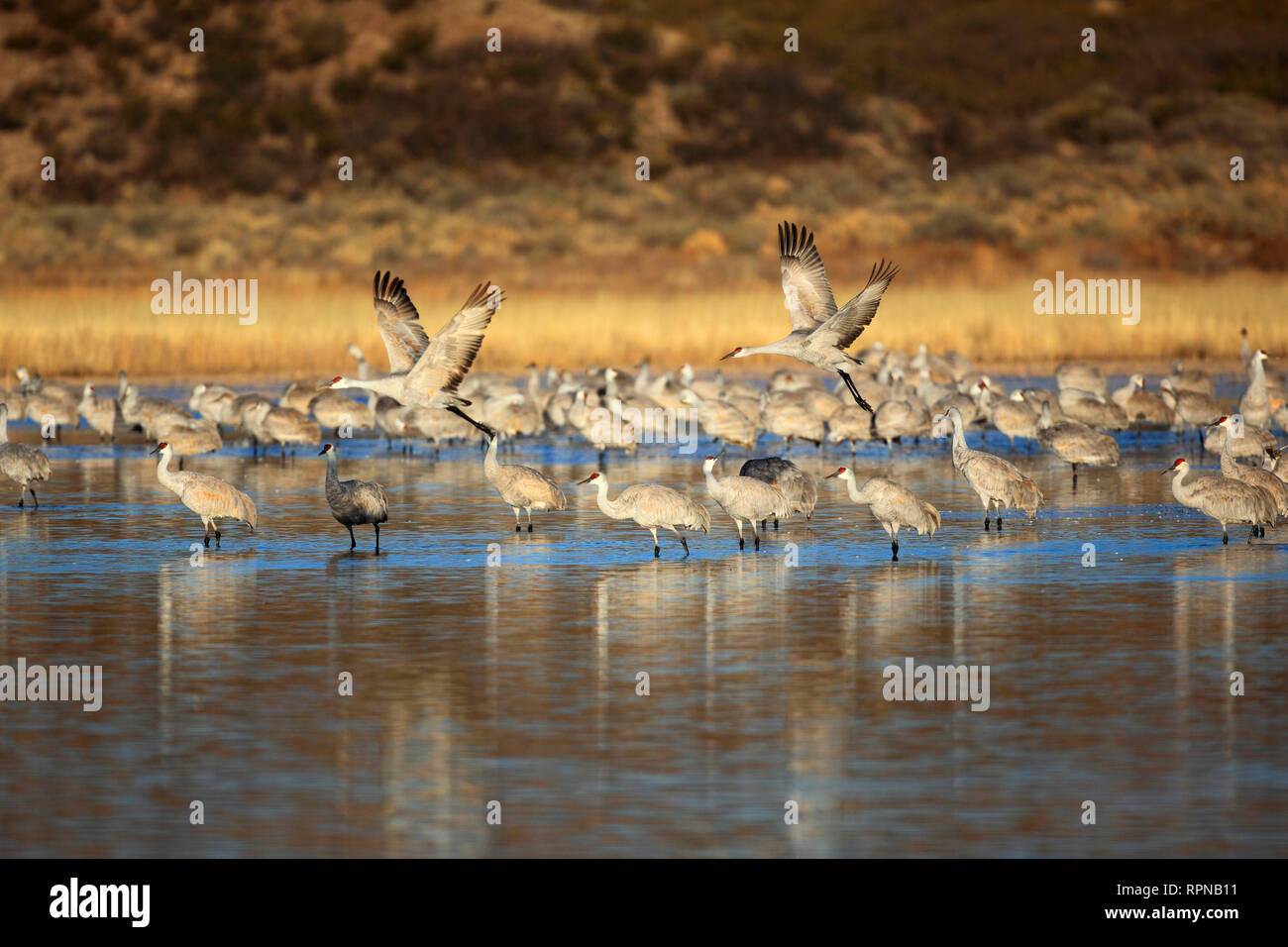 zoology / animals, birds (Aves), Sandhill Crane, slack canadensis, Sandhill crane, gauge standing in t, Additional-Rights-Clearance-Info-Not-Available - Stock Image