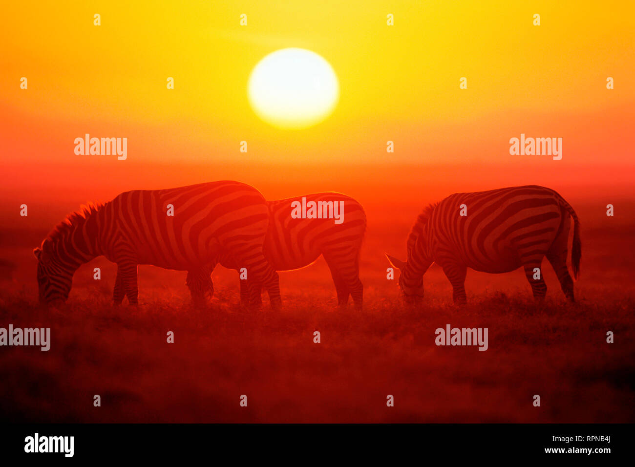 zoology / animals, mammal (mammalia), plains zebra, Namibia, Africa, Additional-Rights-Clearance-Info-Not-Available - Stock Image