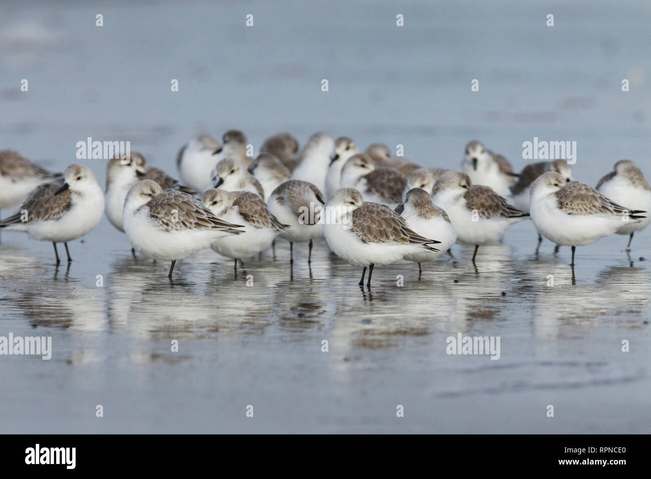 zoology / animals, avian / bird (aves), Sanderling, Calidris alba, Germany, Additional-Rights-Clearance-Info-Not-Available - Stock Image