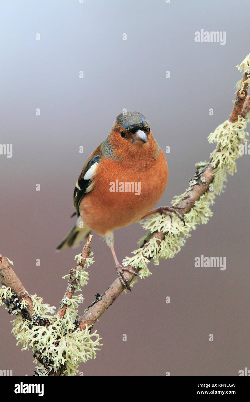 zoology / animals, avian / bird (aves), Chaffinch, Fringilla coelebs, chaffinch, Scotland, Additional-Rights-Clearance-Info-Not-Available - Stock Image