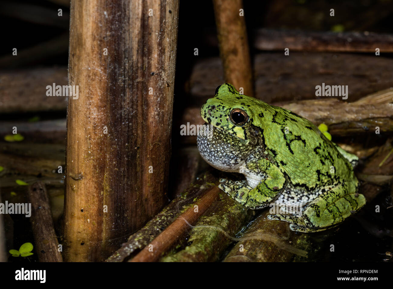 zoology / animals, amphibian (amphibia), Gray Tree Frog (Hyla versicolor) among wetland vegetation at , Additional-Rights-Clearance-Info-Not-Available - Stock Image