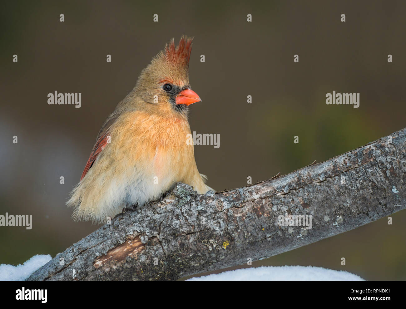 zoology / animals, avian / bird (aves), Female Northern Cardinal (Cardinalis cardinalis) in winter nea, Additional-Rights-Clearance-Info-Not-Available Stock Photo