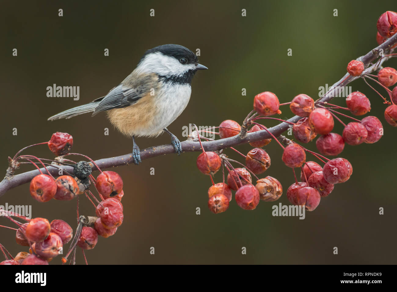 zoology / animals, avian / bird (aves), Black-capped Chickadee (Parus atricapillus) near Thornton, Ont, Additional-Rights-Clearance-Info-Not-Available - Stock Image