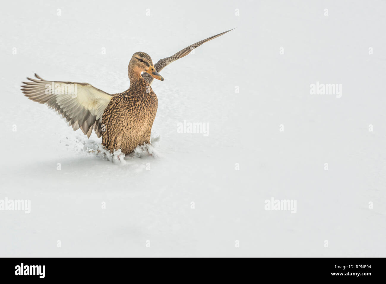 zoology / animals, avian / bird (aves), Mallard (Anas platyrhynchos) hen landing on frozen lake surfac, Additional-Rights-Clearance-Info-Not-Available - Stock Image