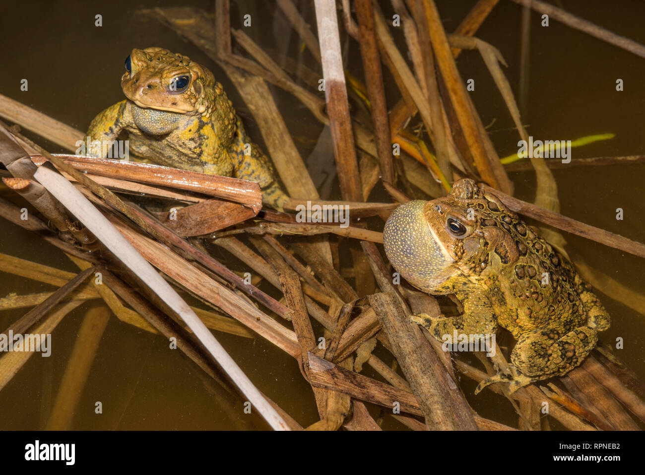 zoology / animals, amphibian (amphibia), Two male American Toads (Bufo americanus) with vocal sacs inf, Additional-Rights-Clearance-Info-Not-Available - Stock Image