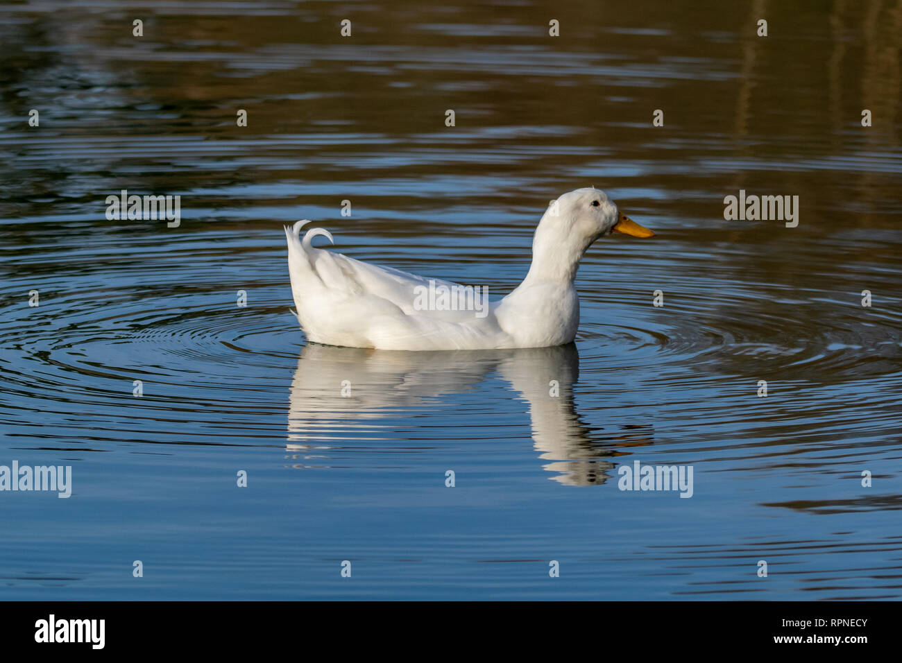 Male drake heavy white Pekin Duck (also known as Aylesbury or Long Island Duck) swimming on a still calm lake with reflection - Stock Image