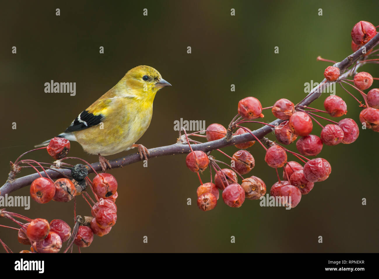 zoology / animals, avian / bird (aves), American Goldfinch (Carduelis tristis) near Thornton, Ontario,, Additional-Rights-Clearance-Info-Not-Available - Stock Image