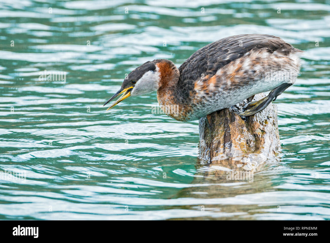 zoology / animals, avian / bird (aves), Red-necked Grebe (Podiceps grisegena) on log at Humber Bay Par, Additional-Rights-Clearance-Info-Not-Available - Stock Image