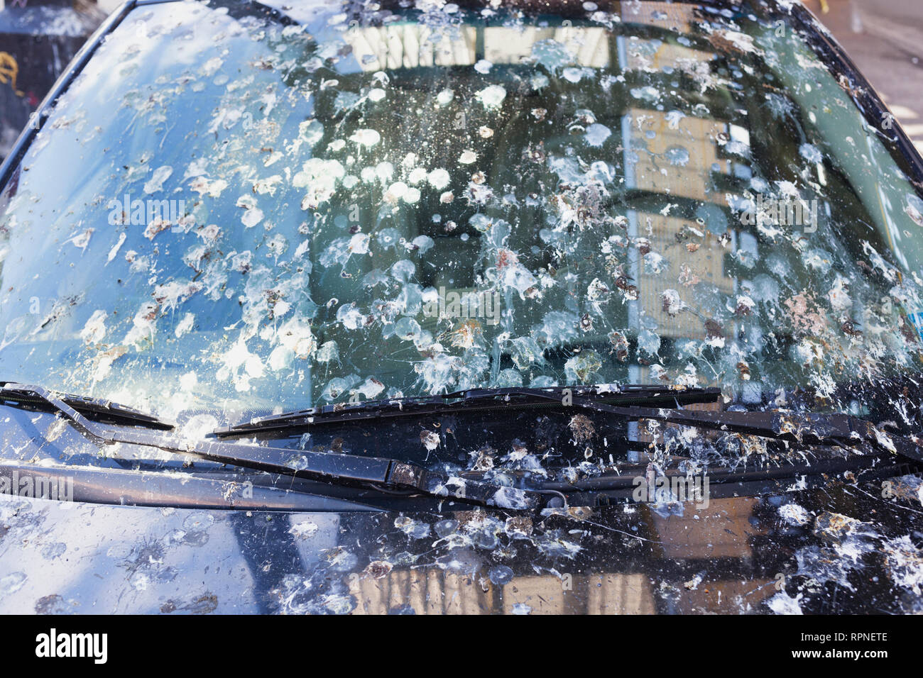 Bird pigeon droppings on car windshield that has been long-term parked in Queens, New York City. - Stock Image