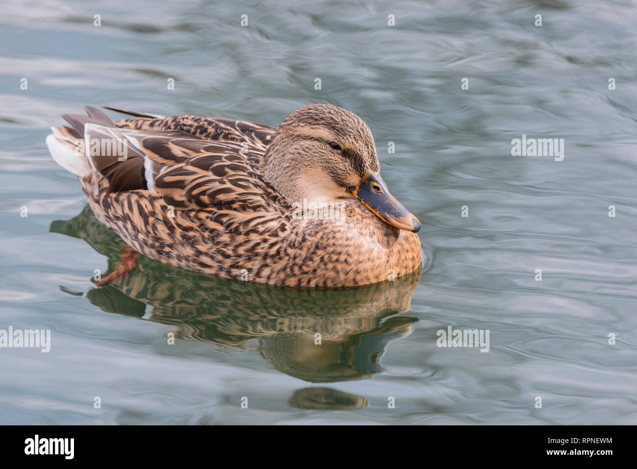 zoology / animals, avian / bird (aves), Mallard (Anas platyrhynchos) hen at Humber Bay Park on Lake On, Additional-Rights-Clearance-Info-Not-Available - Stock Image