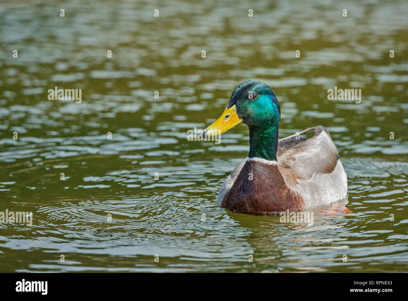 zoology / animals, avian / bird (aves), Mallard (Anas platyrhynchos) drake at Humber Bay Park on Lake , Additional-Rights-Clearance-Info-Not-Available - Stock Image