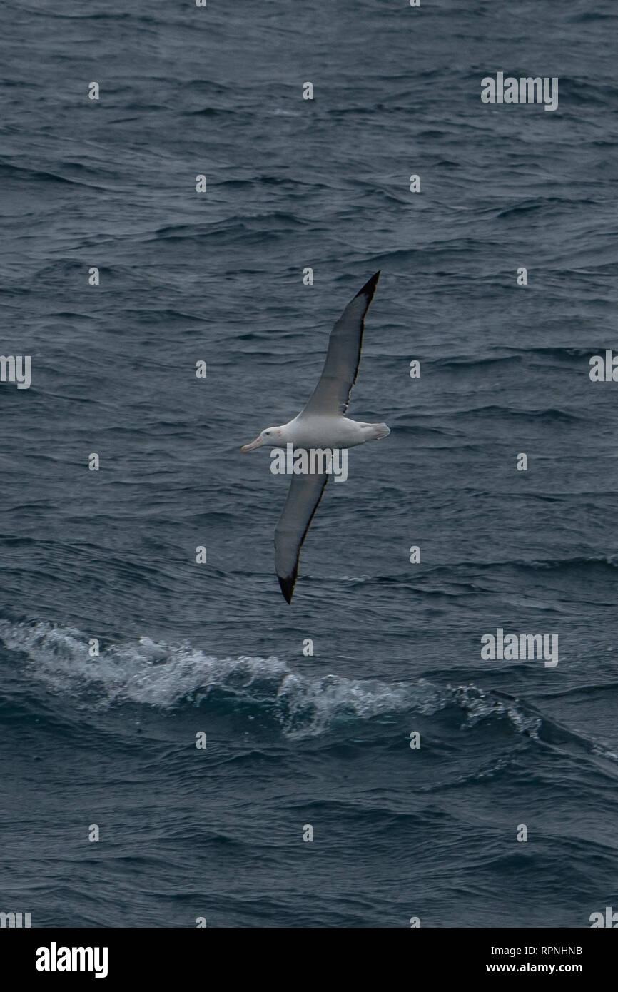 Wandering Albatross, Dimodea exulans, near South Georgia - Stock Image
