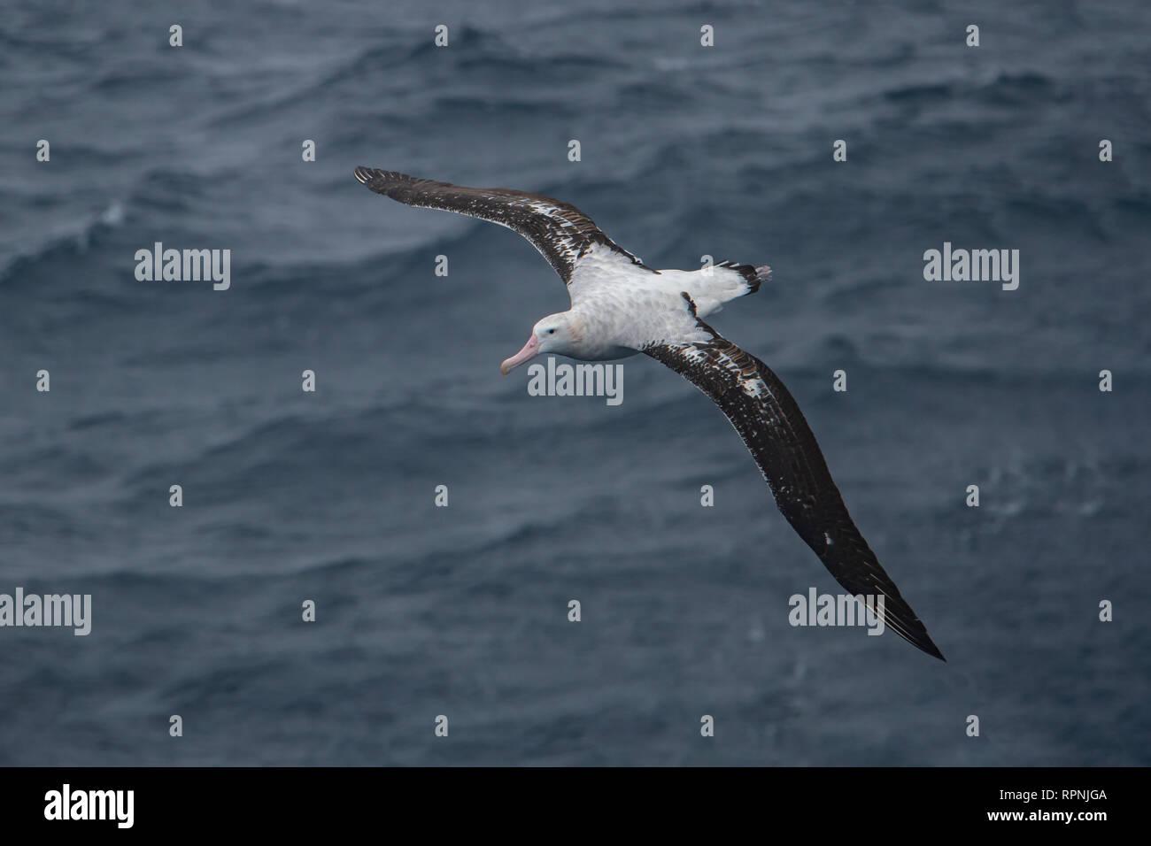 Southern Royal Albatross, Dimodea epomophora, near Shag Island, South Georgia - Stock Image