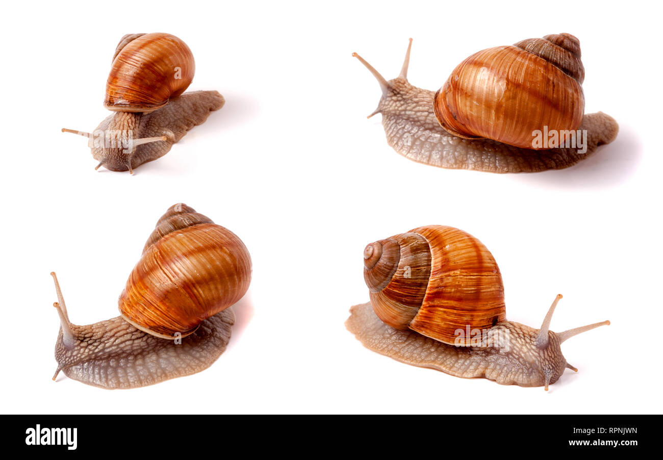 live snail crawling on white background close-up macro. Set or collection - Stock Image