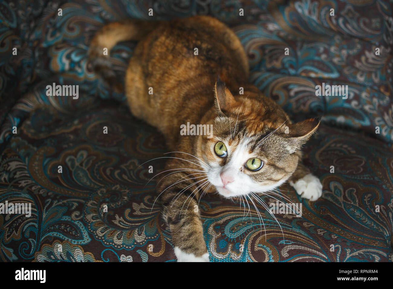 Funny Angry Ginger Cat with Harismatic Facial Expression Playing on Blue Sofa. - Stock Image