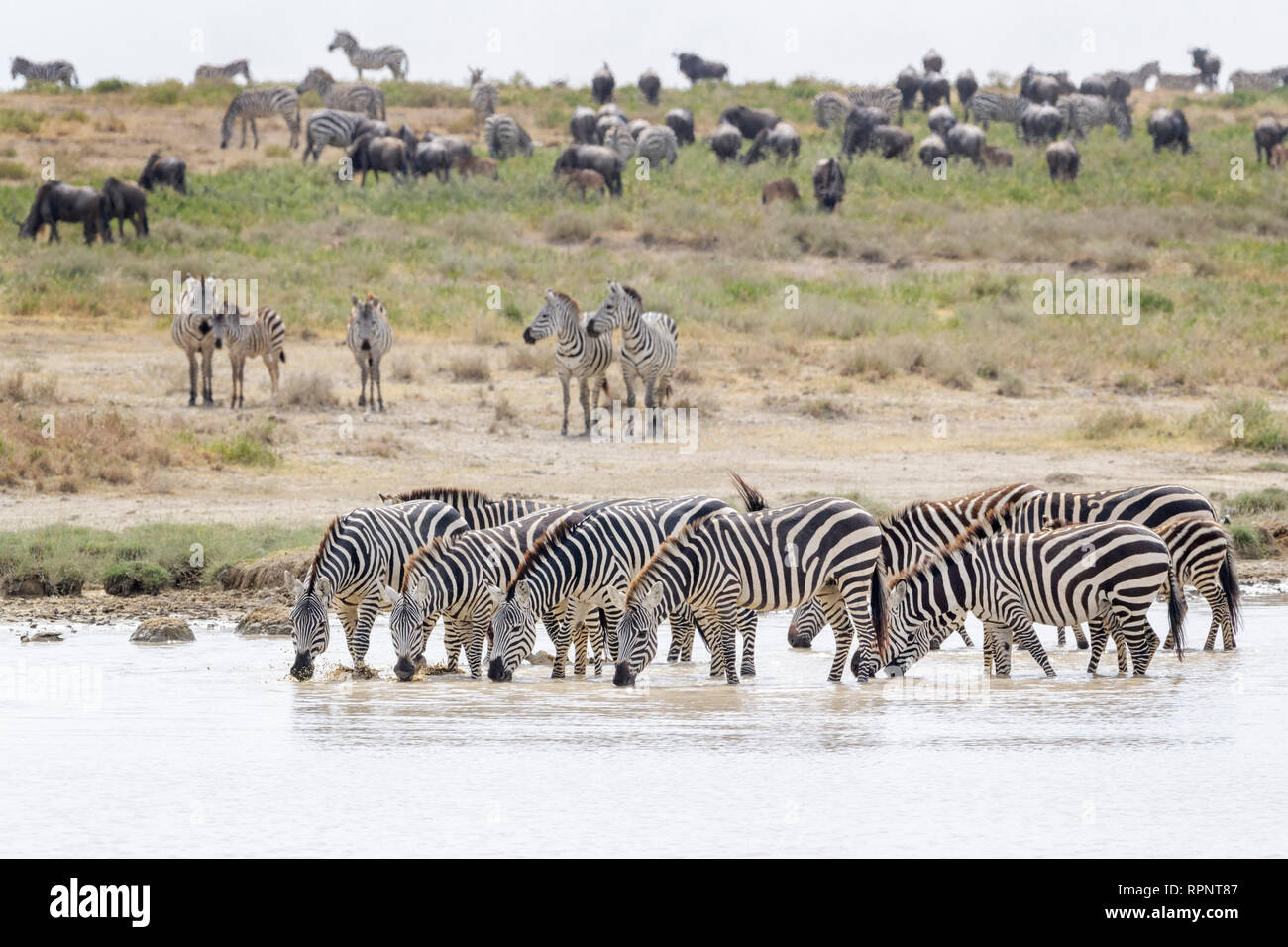 Common or Plains Zebra (Equus quagga) herd, drinking water with during the great migration, Ngorongoro crater national park, Tanzania - Stock Image