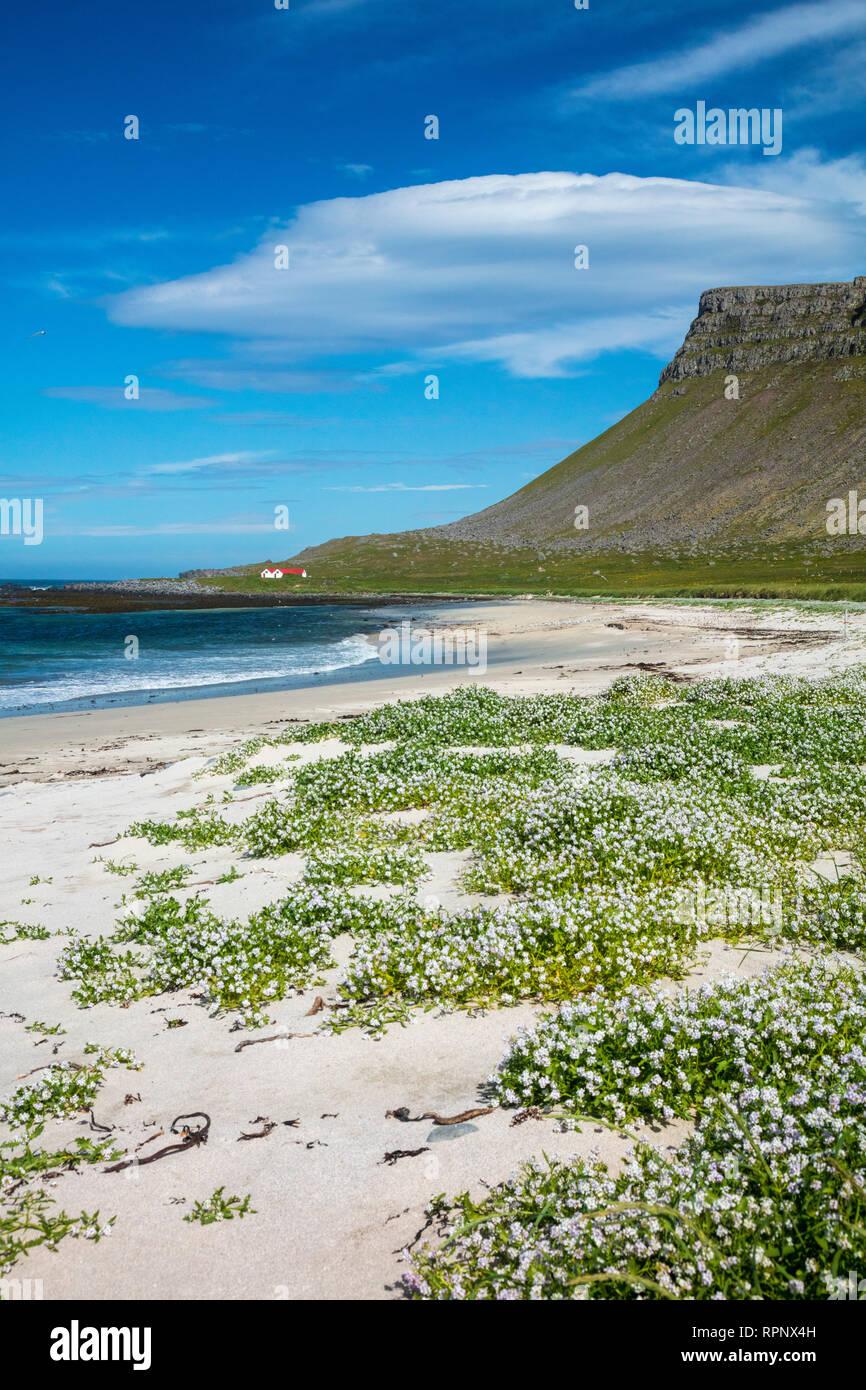 Arctic sea rocket (cakile arctica) blooming on the sandy beach at Breidavik. Latrabjarg Peninsula, Westfjords, Iceland. - Stock Image