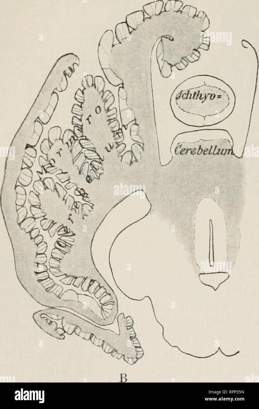 . Allgemeine Zoologie und Abstammungslehre. Evolution; Zoology. grube übergeht. Die Größe des Cerebellums steht in direkter Beziehung zur Beweglichkeit: schnelle Schwimmer {Sco7nber, Thynnus, Exocoetus, Clupea) und die weit wandernden Aale haben ein großes Cere- bellum, Qddiis ein mittleres und träge Fische {Pleuro- nectes, Lophius, Scorpaena, Hippocampus) ein kleines. Der Aquaeductus Sylvii setzt C Fig. 518. A Gehirn von Mormyrus kanume von der Seite, B Querschnitt durch das Kleinhirn. Körnerschicht grau, Molekularschicht heller. C Querschnitt durch eine Kleinhirnfalte eines Mormyriden (Petro - Stock Image