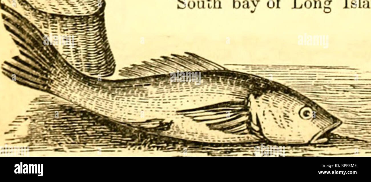 . American angler's guide : or, complete fisher's manual, for the United States: containing the opinions and practices of experienced anglers of both hemispheres ; with the addition of a second part.. Fishing. 200 THE SHEEPSHEAD. in Flatlands bay, some years since, and when lie had fairly exhausted hia Btrength by long and careful skill, and was reeling liim towards the boat, on the surface of the water. lost his noble prize by the rapacity of a villanous shark, who seized the lish. and broke away with part of the line. In the evening of the same day. some net fishermen were hauling the seine  Stock Photo
