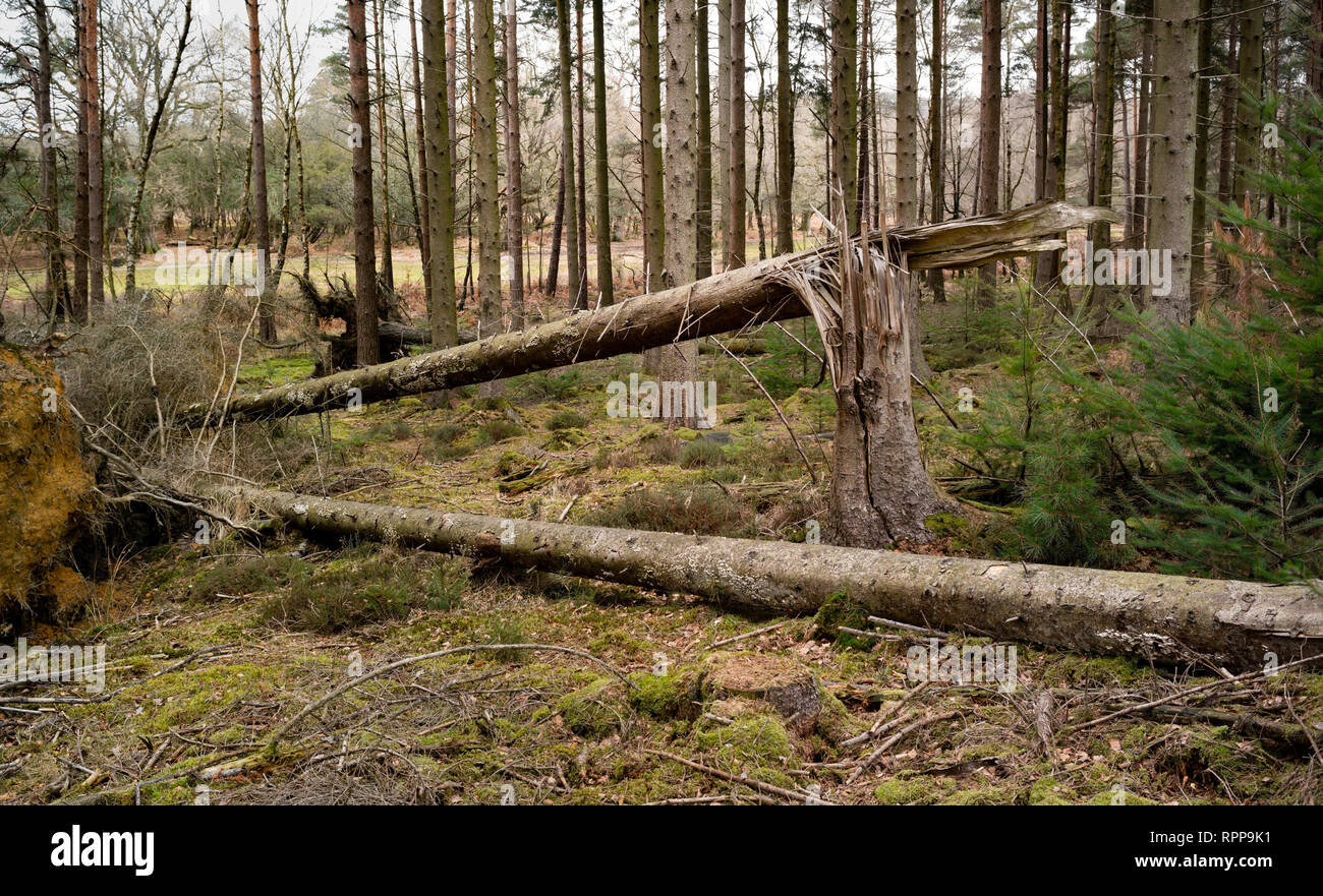 A tree blown over in recent storm weather showing the power of the wind leaving a split trunk. Stock Photo