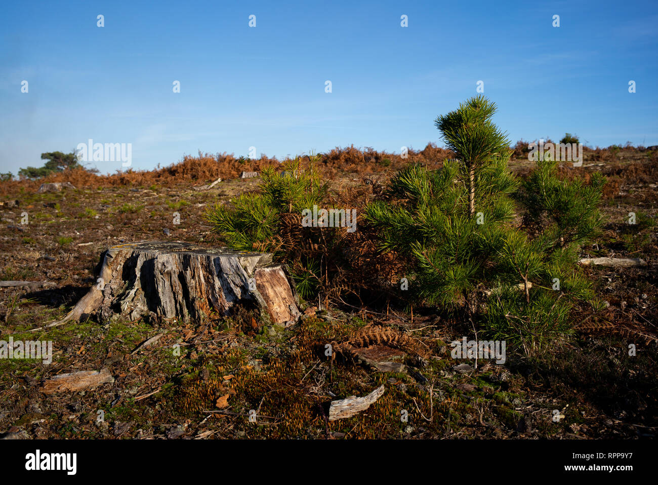 Forestry work in new forest national park Hampshire England with new planted  trees growing next to the stump of an old tree in a managed wood forest. - Stock Image