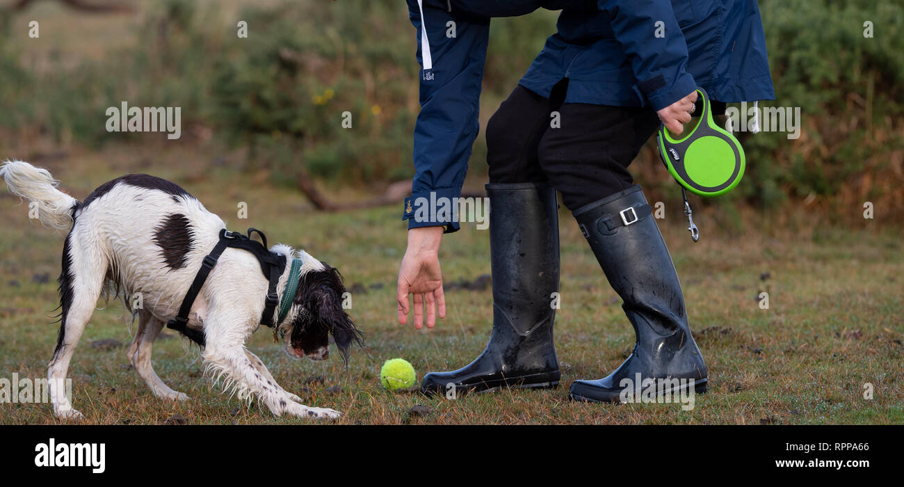 A young English springer spaniel ( 11 months) with its female owner playing with tennis ball off lead while holding a extendable lead. - Stock Image