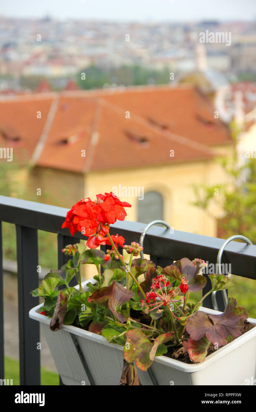 Red garden geranium flowers pelargonium in white pot on balcony rail on background of old city Prague - Stock Image