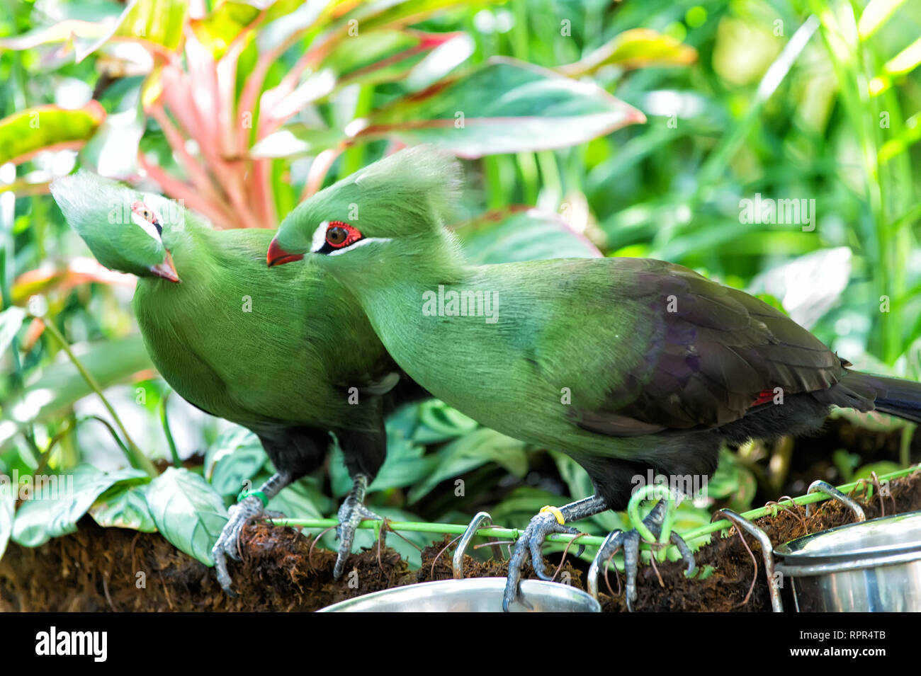 Birds couple or pair perched on twig on sunny day on natural background. Cute tufted spices with green plumage. Mating season. Wildlife and nature. Ornithology Stock Photo