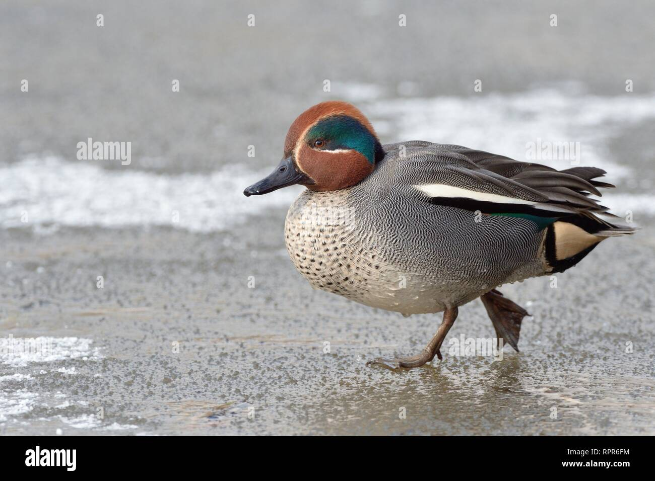 Common teal (Anas crecca) drake walking across a frozen, snow dusted pond, Gloucestershire, UK, February. - Stock Image