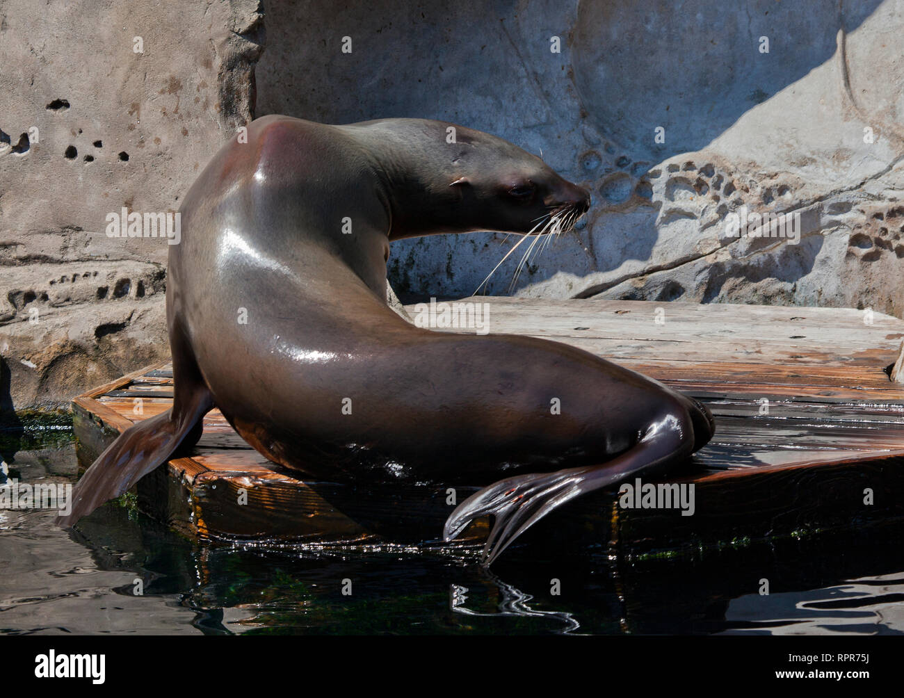Steller Sea Lion, Vancouver, Canada - Stock Image