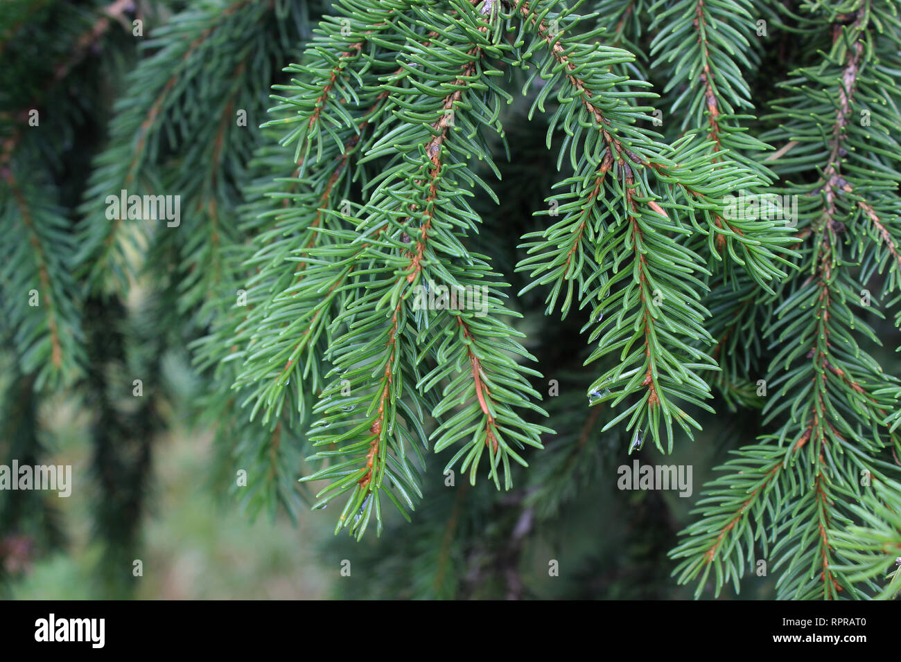 Branch of Picea abies (Norway spruce) Stock Photo