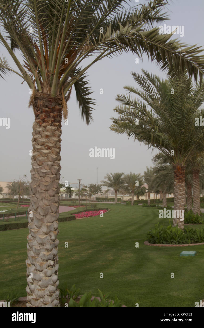 Dubai-Al Barsha Pond Park palm trees - Stock Image