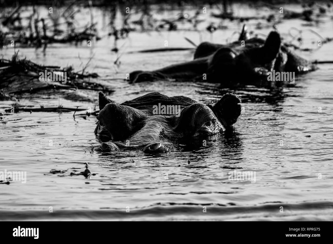 Hippo (Hippopotamus amphibius) resting in the water, Chobe National Park in Botswana - Stock Image