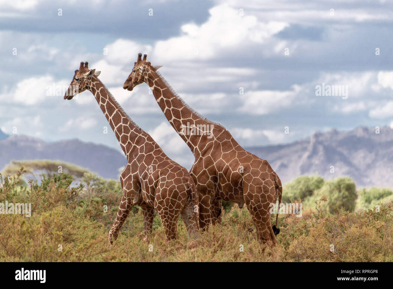 Two reticulated giraffes (Giraffa camelopardalis reticulata) survey the late afternoon scene in Kenya, Africa. They are considered Endangered. Stock Photo