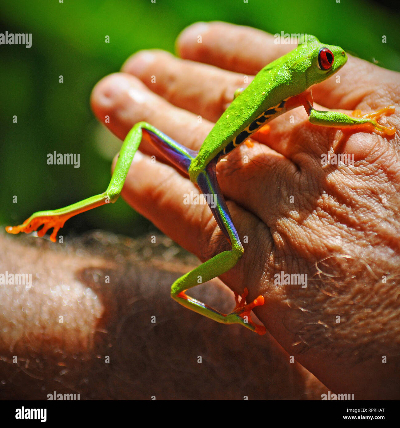 A Red Eyed Tree frog or Gaudy Leaf Frog (Agalychnis Callidryas) on a human hand inside the Tortuguero national park, Costa Rica. - Stock Image
