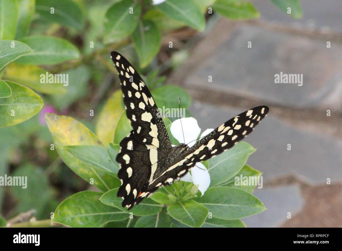 Citrus Swallowtail (Papilio demodocus), Shimba Hills, Kenya - Stock Image