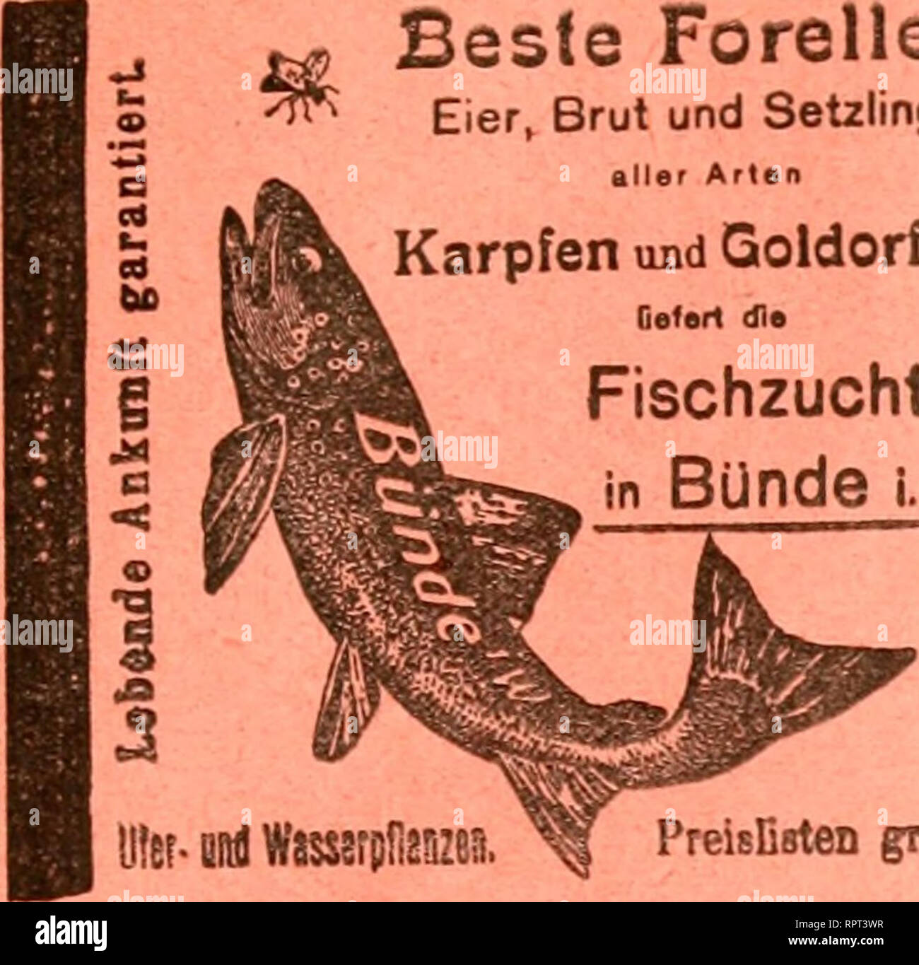 . Allgemeine Fischerei-Zeitung. Beste Forellen Eier, Brut und Setzlinge aller Arten Karpfen uBd Goldorfen 9^ Ge<«r1 dl» ^ | Fischzucht •. Please note that these images are extracted from scanned page images that may have been digitally enhanced for readability - coloration and appearance of these illustrations may not perfectly resemble the original work.. München [etc. ] Landesfischereiverband Bayern [e - Stock Image