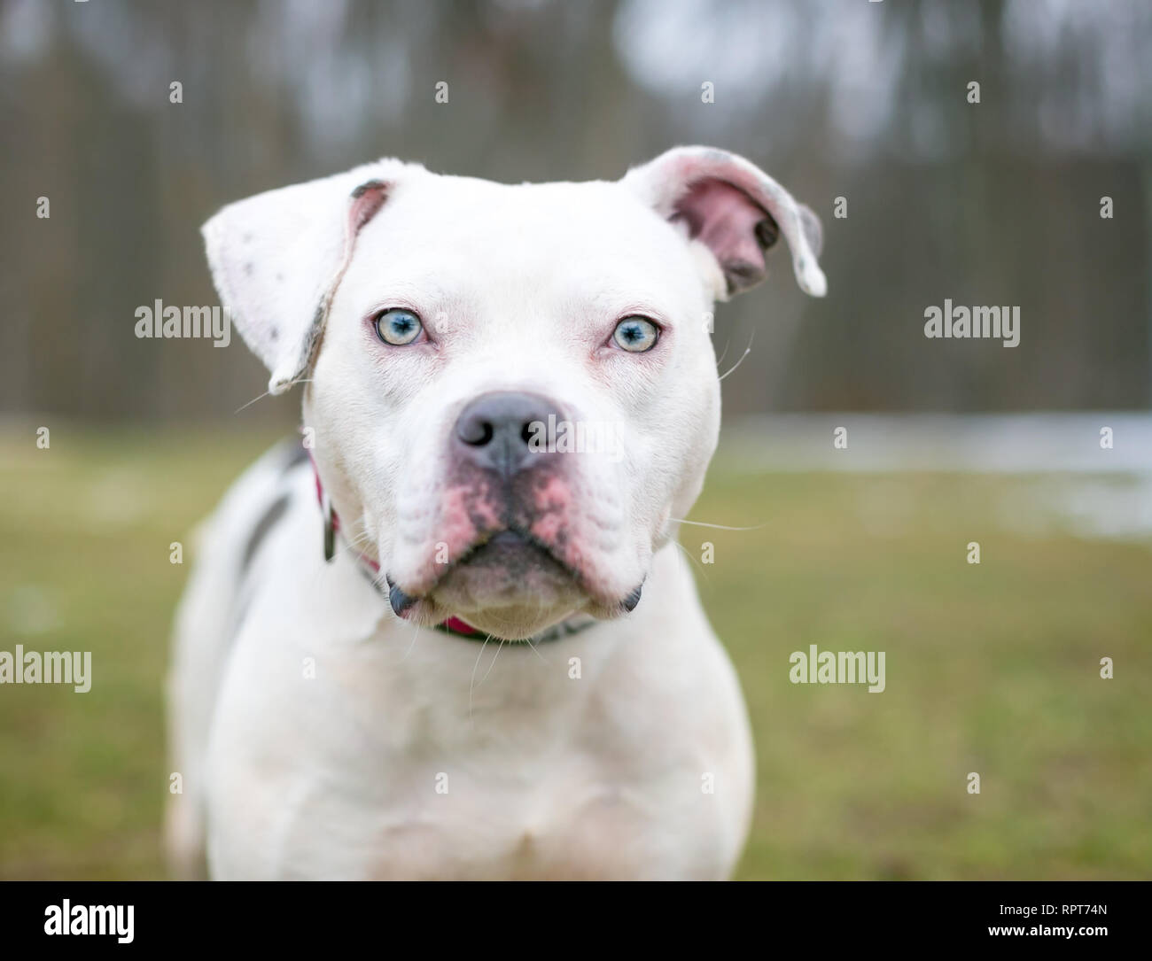 A white Pit Bull mixed breed dog outdoors - Stock Image