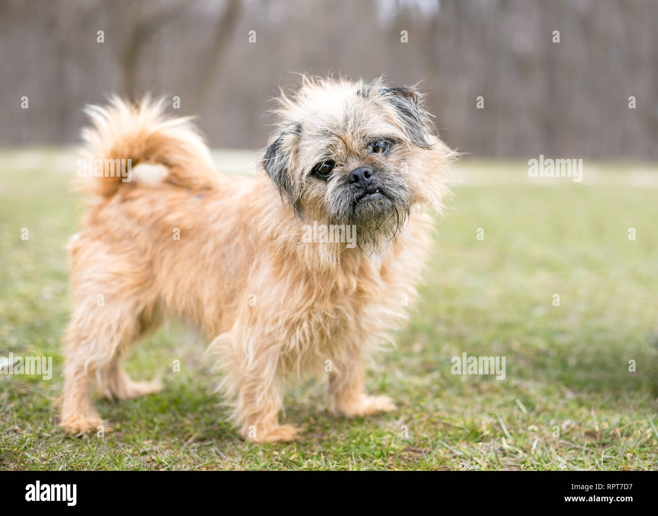 A Brussels Griffon/Pug mixed breed dog listening with a head tilt Stock Photo