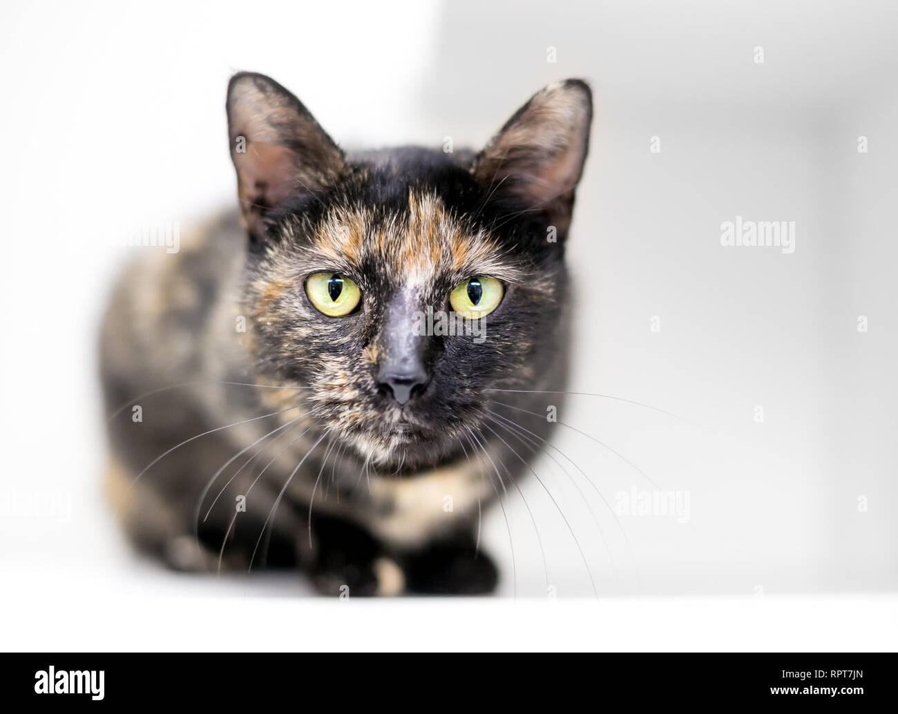 A Tortoiseshell domestic shorthair cat in a crouched position looking directly at the camera - Stock Image