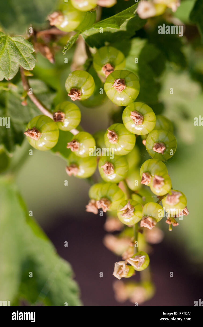 Unripe green redcurrant berries on a branch close-up Stock Photo