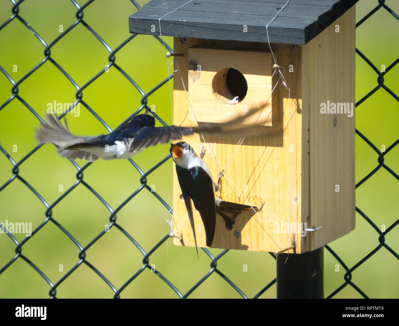A male tree swallow (Tachycineta bicolor) defends his nestbox and nestlings from a takeover from another tree swallow.  Beaumont, Alberta, Canada. Stock Photo